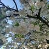 動物園お花見ピクニック
