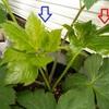 アシタバ栽培 22日目/3週間観察して分かったこと、分からないこと