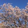 八重桜まもなく見頃に・・・ &  わが家の花たち