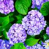 雨の季節感じるアジサイの花