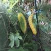夏野菜の収穫がじょじょに終わりに・・・