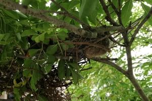 緊急!ハトのヒナ速報!生後2週間前後で枝の上に立つ!巣立ちは近いぞ!簡単なハトの成長過程のまとめ写真を添えて。