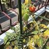 夫の家庭菜園:トマトが食べごろです