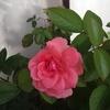 新苗のバラ咲きました