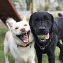 北海道犬ルカと黒ラブのエマ