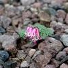 高山植物(コマクサ)