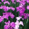 【三条市・栄】『しらさぎ森林公園 』に花菖蒲を見に行きました^^