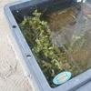 金魚水槽にウォーターバコパ