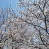 桜と夜の散歩