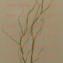 Dragon willow(雲竜柳 うんりゅうやなぎ)