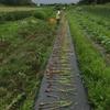 ニンニク収穫体験