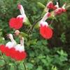 寒空に元気!チェリーセージの赤い花♪