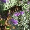 二期咲きの長崎ラベンダー、リトルマミー開花で〜す。
