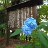 阿弥陀寺の紫陽花ラスト