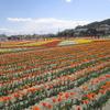 羽村の「チューリップまつり」へ行ってきました 2018年、開花状況は?