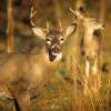コロナは、アメリカ生息のオジロ鹿にも浸透