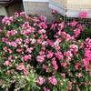 つるバラの魅力と苦労