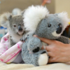 お母さんいた!孤児となったコアラにぬいぐるみのコアラをプレゼント。ぴっとり抱き着くその姿がいとおしい。