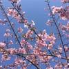 鹽竈神社の桜