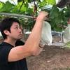 ぶどうの収穫