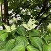 今週のお題「おうち時間2021」。ヤマボウシ、しっとりと咲いています。