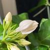 花はちょっと目を離すと開いてるので開花の瞬間とか見てみたい