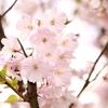 大宮公園桜2019 開花情報・夜桜ライトアップ 埼玉県人気の花見の名所