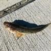 ハゼの釣り方とさばき方を説明!トカイナカ利府町は浜田漁港で海釣りを満喫!