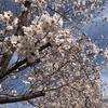 知ってました?今日は桜の日ですよ🌸