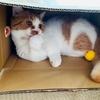 憧れの猫あるある。それは、段ボール猫!