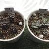 【多肉植物】ブロンズ姫&白牡丹/成長記録→3カ月後