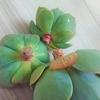 七福神の発根を確認☆春になって動きだす多肉植物と自分を応援したい♪