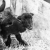 【今日の一枚】壮絶で強い母羊の出産現場