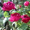2019【無農薬でバラ栽培】バロン・ジロー・ドゥ・ラン