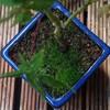 モミジの鉢植えの苔(コケ)