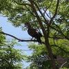 ハトが我が家のトネリコに住み着いています。人類最強になりたいから発想の転換をしてみた。