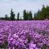 済州島(チェジュ島)5月のおすすめスポット #ボロムワッ「紫色の菜の花」 #レッツランファーム「青麦畑」 #カメリアヒル「アジサイ祭り」