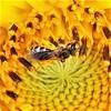 ひまわりとハチ.  Sonnenblume und Biene