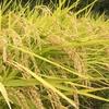 新米の季節なのでスーパーの不味いお米の見分け方教えます。