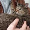 猫のワクチン接種と特発性膀胱炎の経過。