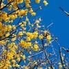 北野天満宮の蝋梅2019、見頃や開花状況。