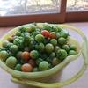 青ミニトマト
