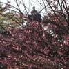 尾山神社「梅咲いてました」