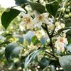 6月のサカキの花, 榊,Cleyera japonica