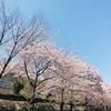 桜が満開🌸