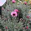 直営農場の春の花たちの出荷始まりました~(*^▽^*)