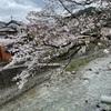 足助川の桜も満開まじか