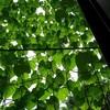 緑のカーテン 西洋朝顔4