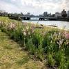 ひろしま はなのわ、本川河川敷ゆっくり歩いてみるのもいいですよ。のんびりできますよ。