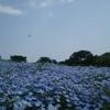 GWお出かけにおすすめ 青一面のネモフィラ畑